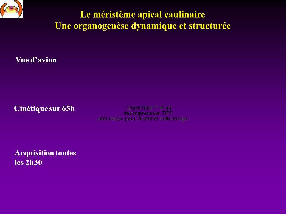 Le méristème apical caulinaire Une organogenèse dynamique et structurée Vue davion Cinétique sur 65h Acquisition toutes les 2h30