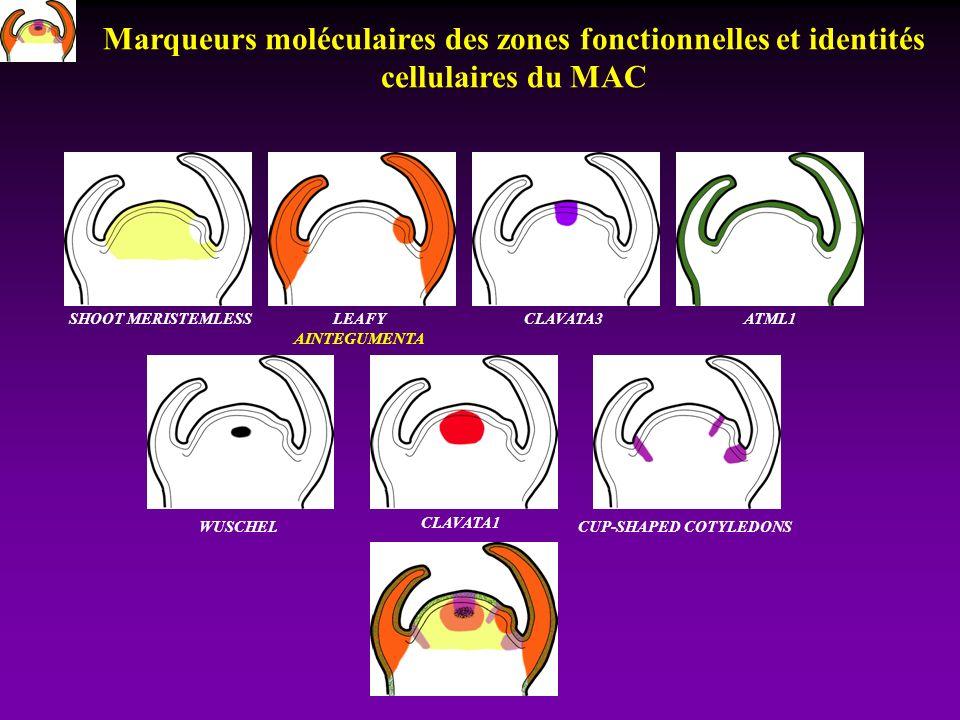 SHOOT MERISTEMLESSLEAFY AINTEGUMENTA CLAVATA3ATML1 CLAVATA1 CUP-SHAPED COTYLEDONS WUSCHEL Marqueurs moléculaires des zones fonctionnelles et identités