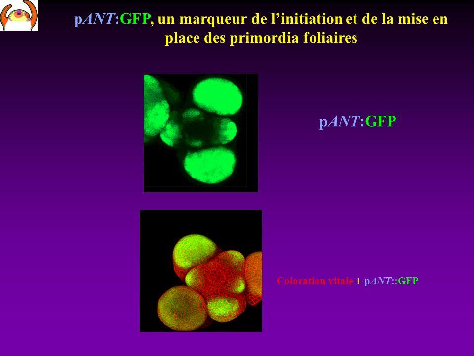 pANT:GFP, un marqueur de linitiation et de la mise en place des primordia foliaires pANT:GFP Coloration vitale + pANT::GFP