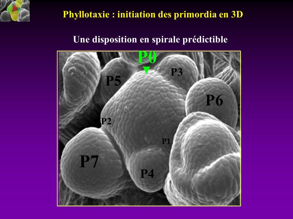 P7 P4 P5 P3 P6 P2 P1 Phyllotaxie : initiation des primordia en 3D P0 Une disposition en spirale prédictible