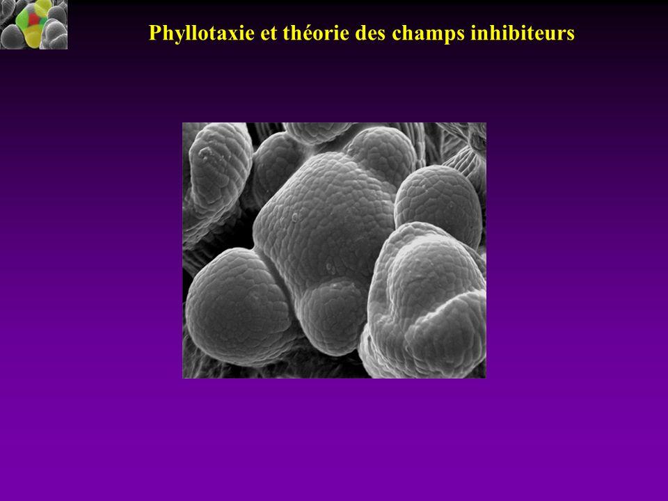 Phyllotaxie et théorie des champs inhibiteurs