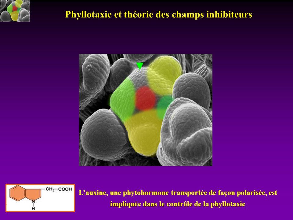 Lauxine, une phytohormone transportée de façon polarisée, est impliquée dans le contrôle de la phyllotaxie Phyllotaxie et théorie des champs inhibiteu