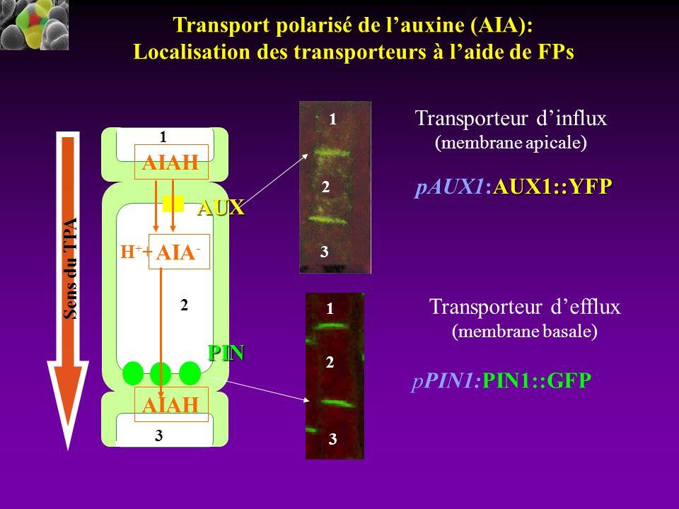 AIA - H++H++ Sens du TPA AIAH PIN AUX Transporteur dinflux (membrane apicale) Transport polarisé de lauxine (AIA): Localisation des transporteurs à la