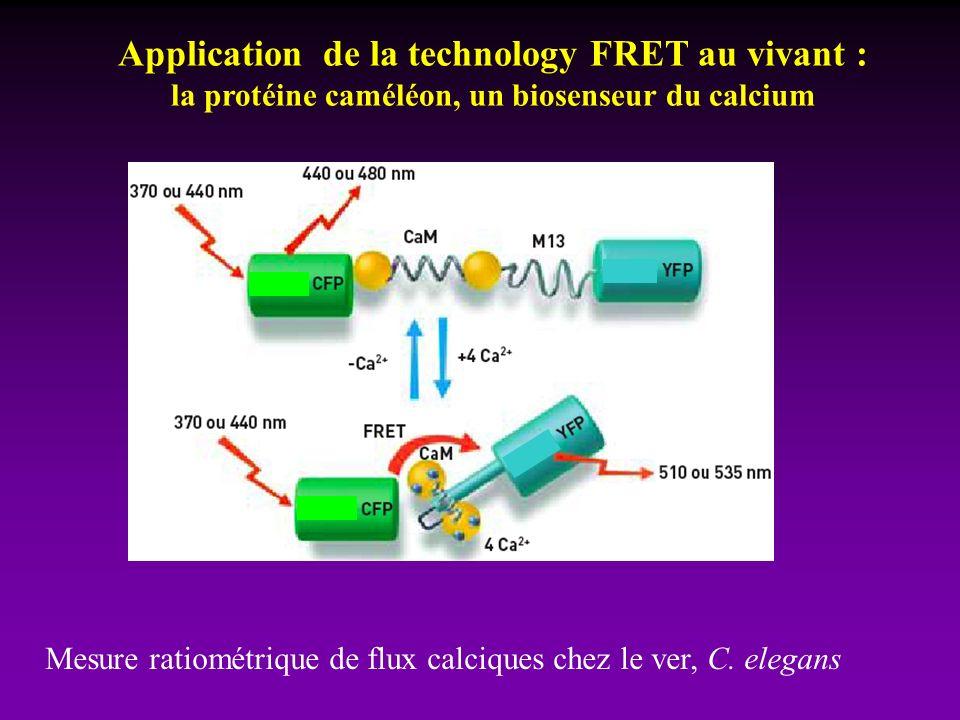 Application de la technology FRET au vivant : la protéine caméléon, un biosenseur du calcium Mesure ratiométrique de flux calciques chez le ver, C. el