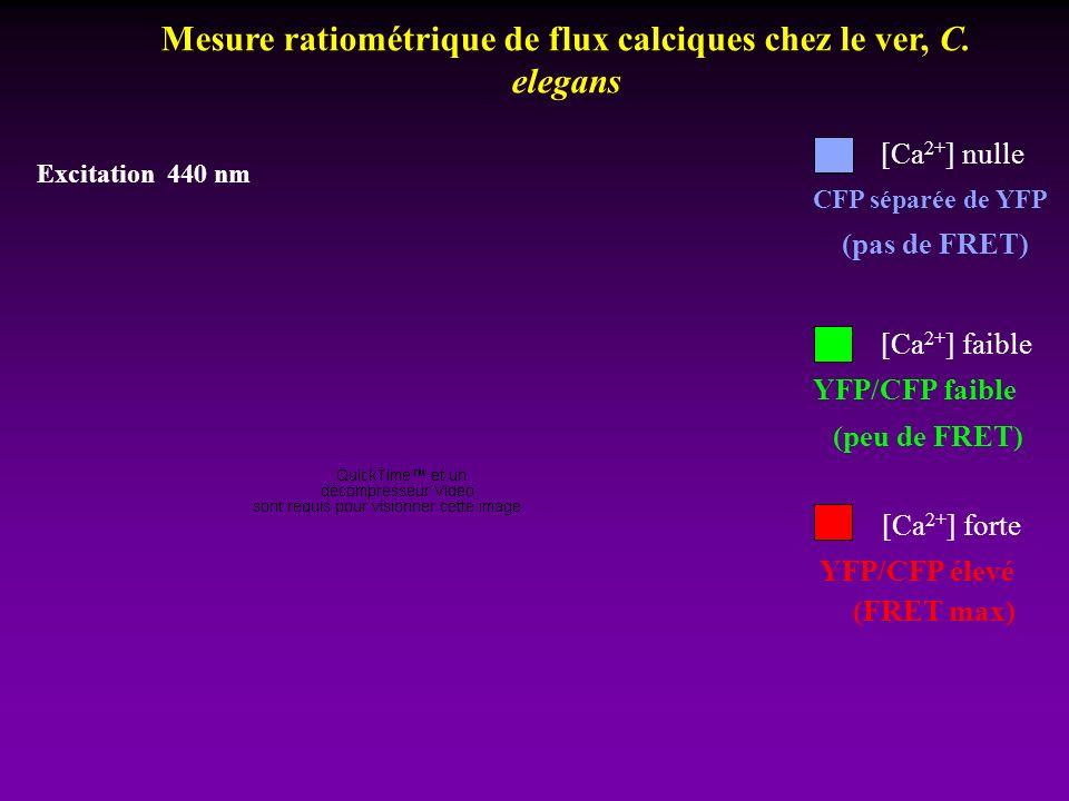 [Ca 2+ ] forte [Ca 2+ ] faible YFP/CFP élevé (FRET max) YFP/CFP faible (peu de FRET) [Ca 2+ ] nulle CFP séparée de YFP (pas de FRET) Excitation 440 nm