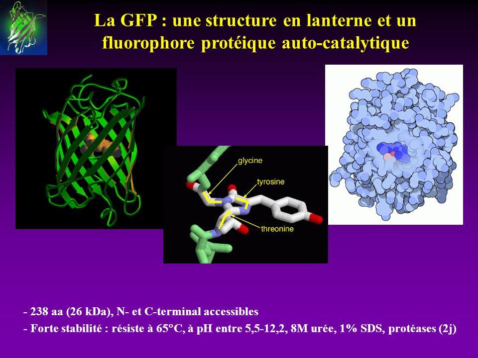 La GFP : une structure en lanterne et un fluorophore protéique auto-catalytique - 238 aa (26 kDa), N- et C-terminal accessibles - Forte stabilité : ré