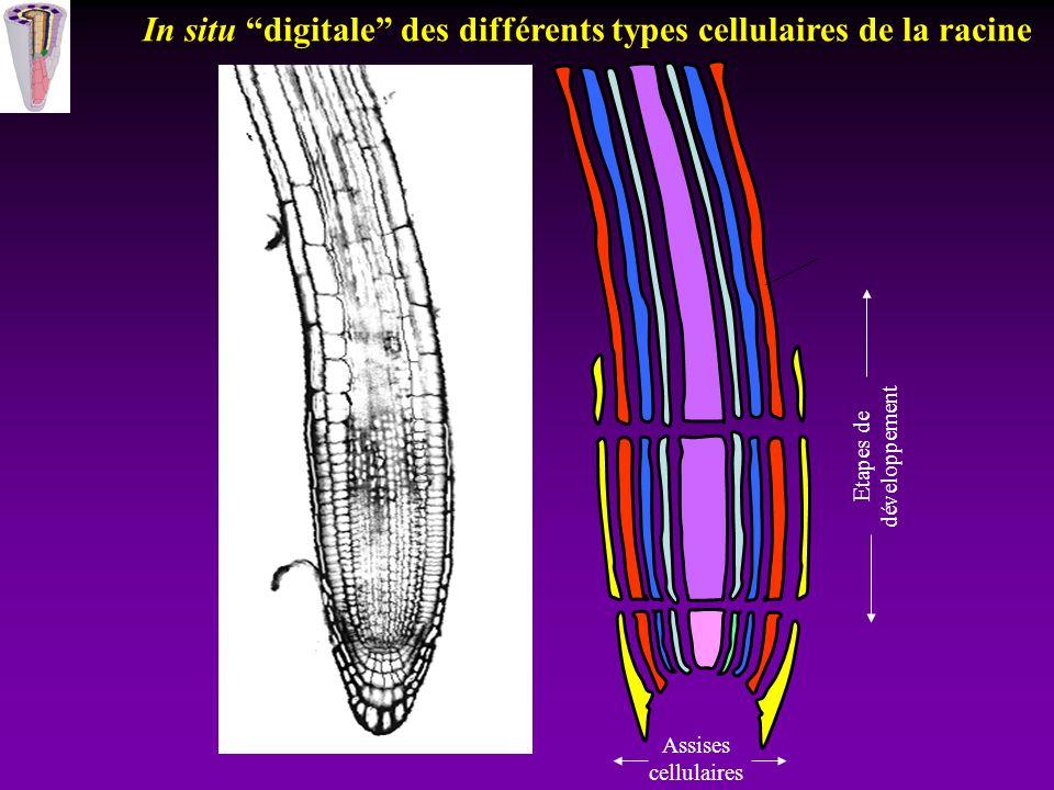 Etapes de développement Assises cellulaires In situ digitale des différents types cellulaires de la racine