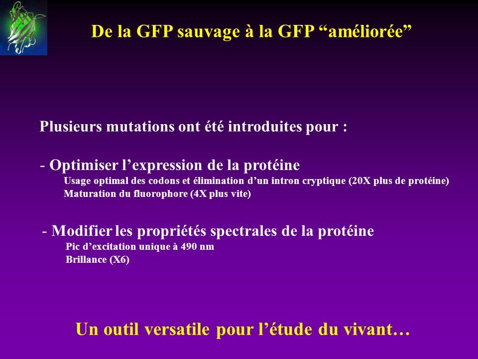 De la GFP sauvage à la GFP améliorée Un outil versatile pour létude du vivant… Plusieurs mutations ont été introduites pour : - Optimiser lexpression