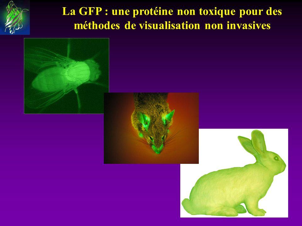 La GFP : une protéine non toxique pour des méthodes de visualisation non invasives