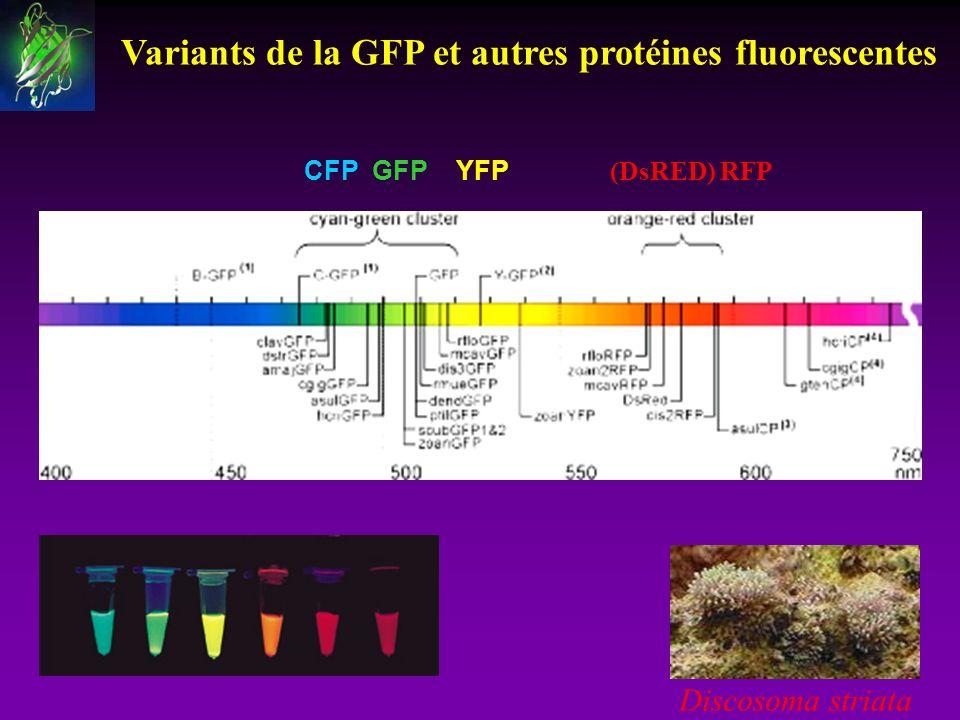 Variants de la GFP et autres protéines fluorescentes CFP GFP YFP (DsRED) RFP Discosoma striata
