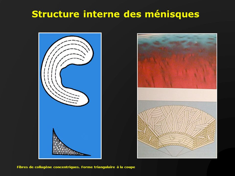 Structure interne des ménisques Fibres de collagène concentriques. Forme triangulaire à la coupe