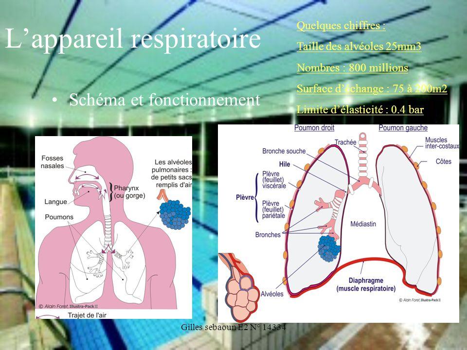 Gilles sebaoun E2 N° 14334 Lappareil respiratoire Schéma et fonctionnement Quelques chiffres : Taille des alvéoles 25mm3 Nombres : 800 millions Surfac