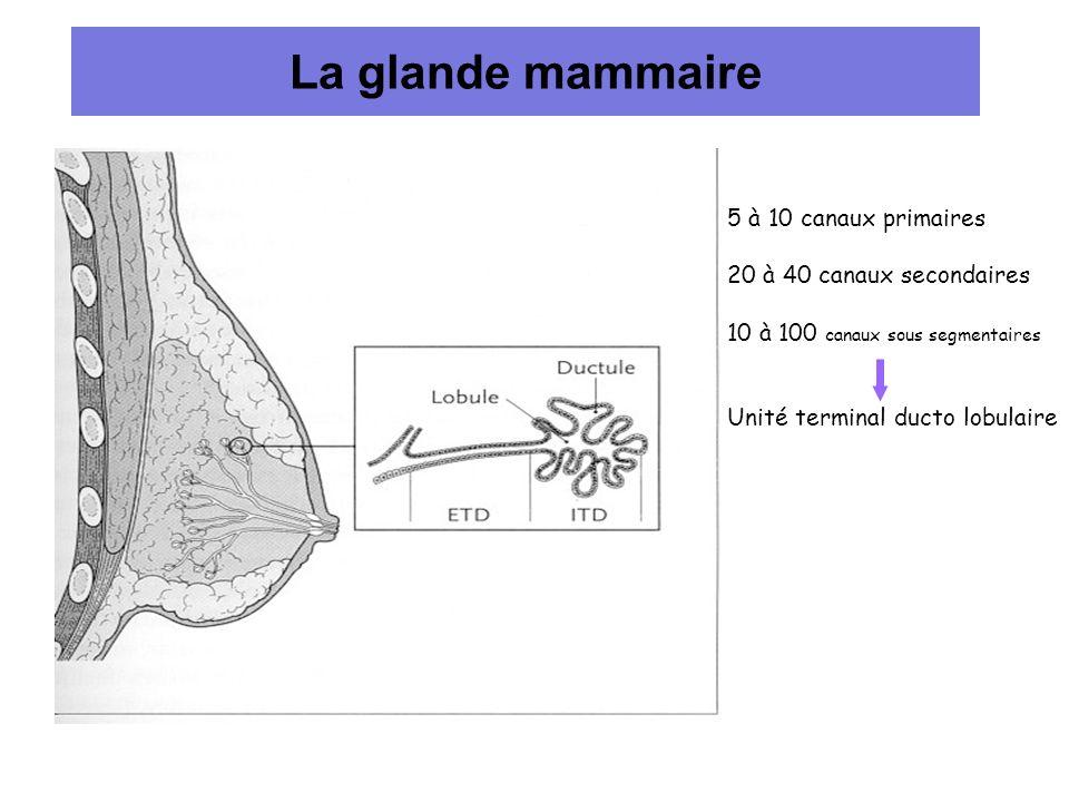 La glande mammaire 5 à 10 canaux primaires 20 à 40 canaux secondaires 10 à 100 canaux sous segmentaires Unité terminal ducto lobulaire