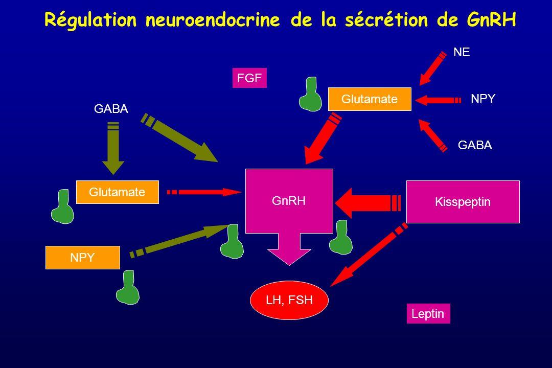 Régulation neuroendocrine de la sécrétion de GnRH LH, FSH GnRH GABA Glutamate NPY Glutamate Kisspeptin NE NPY GABA Leptin FGF