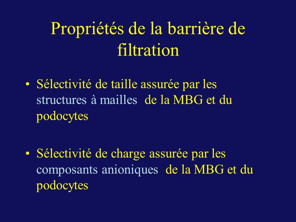 Propriétés de la barrière de filtration Sélectivité de taille assurée par les structures à mailles de la MBG et du podocytes Sélectivité de charge ass