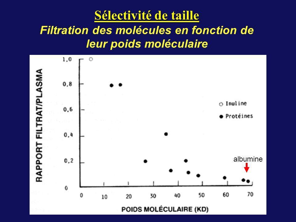 Sélectivité de taille Filtration des molécules en fonction de leur poids moléculaire albumine