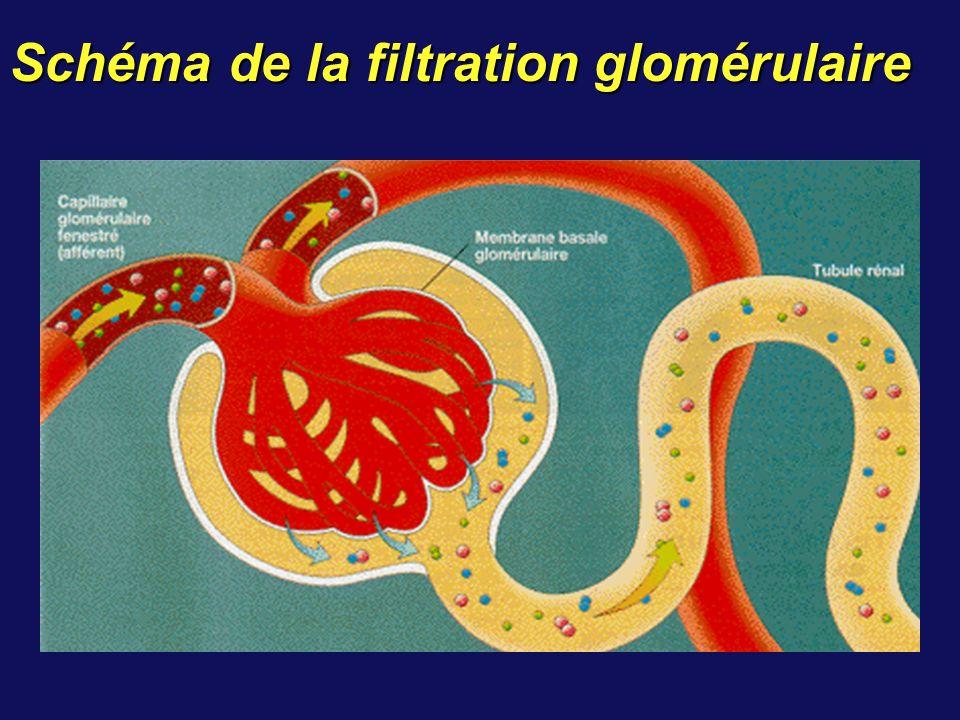 Schéma de la filtration glomérulaire