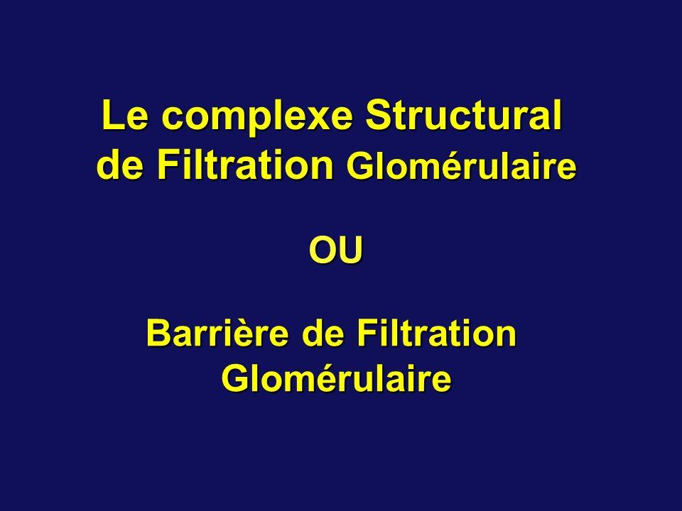 Le complexe structural de filtration est localisé dans la paroi du capillaire glomérulaire.