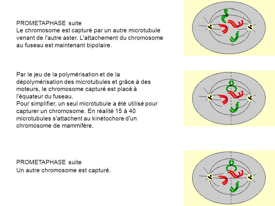 PROMETAPHASE suite Le chromosome est capturé par un autre microtubule venant de l autre aster.