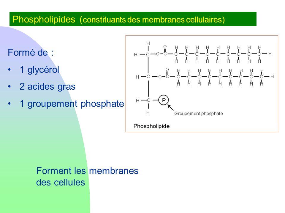 Phospholipides ( constituants des membranes cellulaires) Formé de : 1 glycérol 2 acides gras 1 groupement phosphate Forment les membranes des cellules