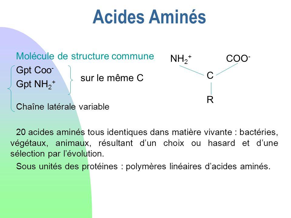 Acides Aminés sur le même C Molécule de structure commune Gpt Coo - Gpt NH 2 + Chaîne latérale variable 20 acides aminés tous identiques dans matière
