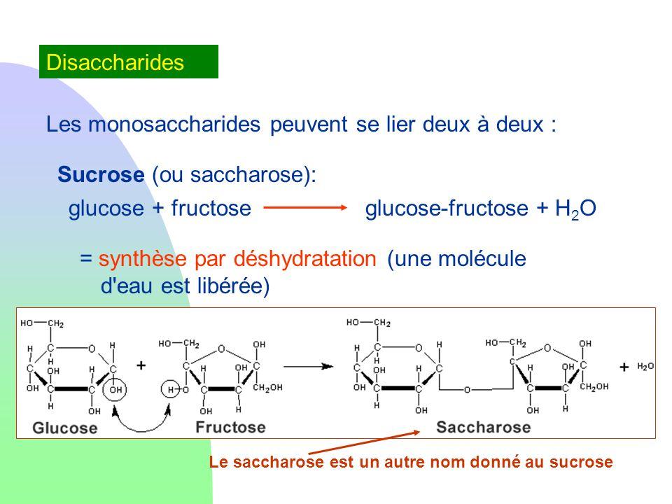 Disaccharides Les monosaccharides peuvent se lier deux à deux : Sucrose (ou saccharose): glucose + fructoseglucose-fructose + H 2 O = synthèse par dés