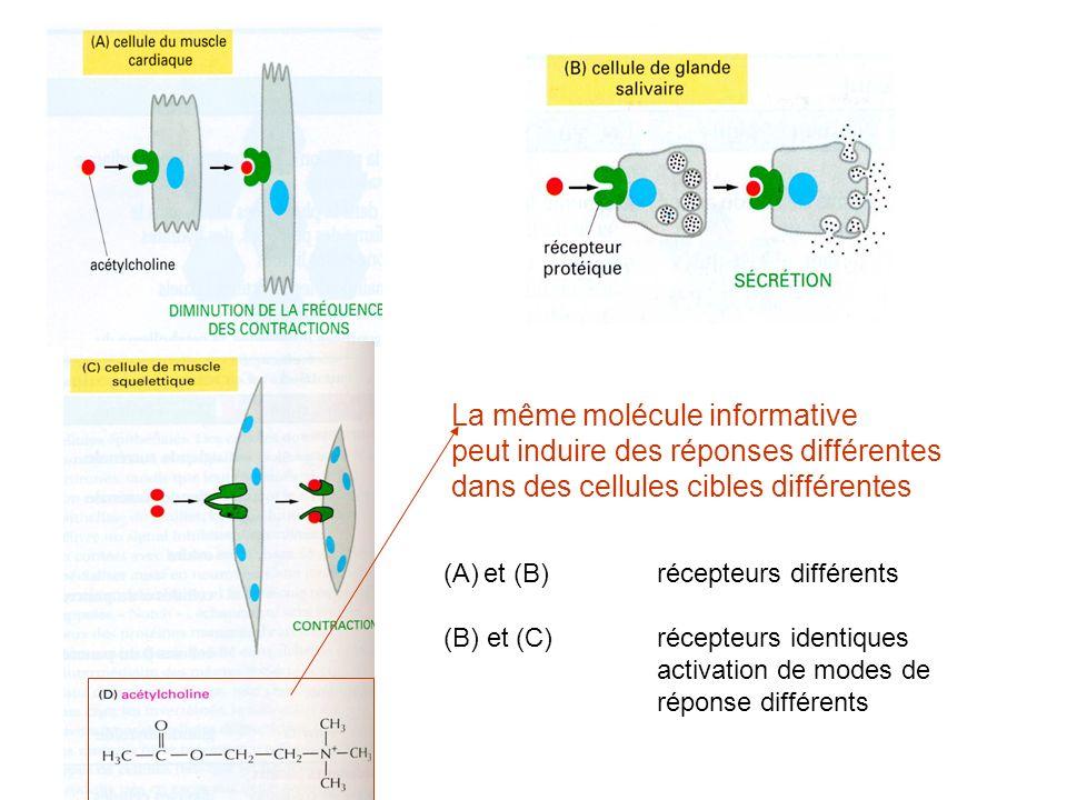 La même molécule informative peut induire des réponses différentes dans des cellules cibles différentes (A)et (B) récepteurs différents (B) et (C)récepteurs identiques activation de modes de réponse différents