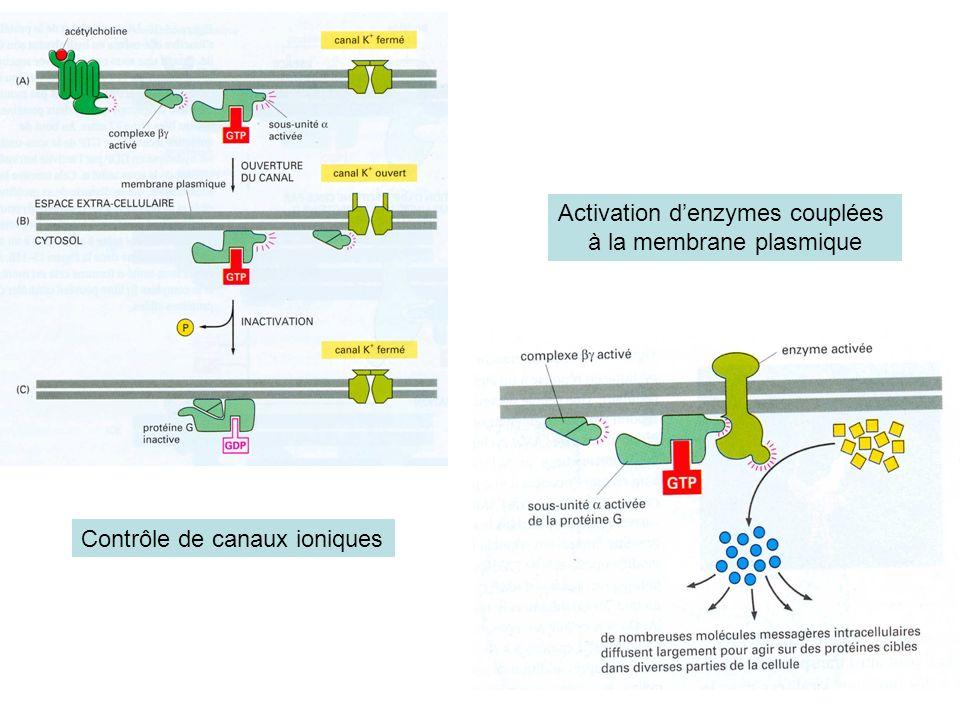 Contrôle de canaux ioniques Activation denzymes couplées à la membrane plasmique
