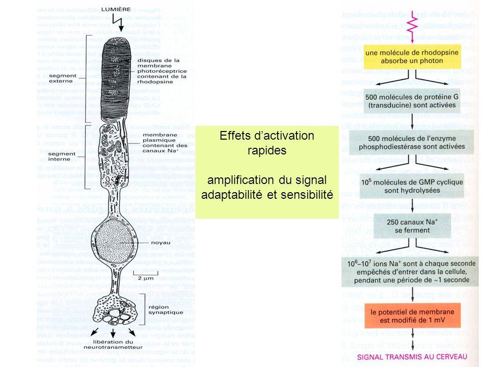 Effets dactivation rapides amplification du signal adaptabilité et sensibilité