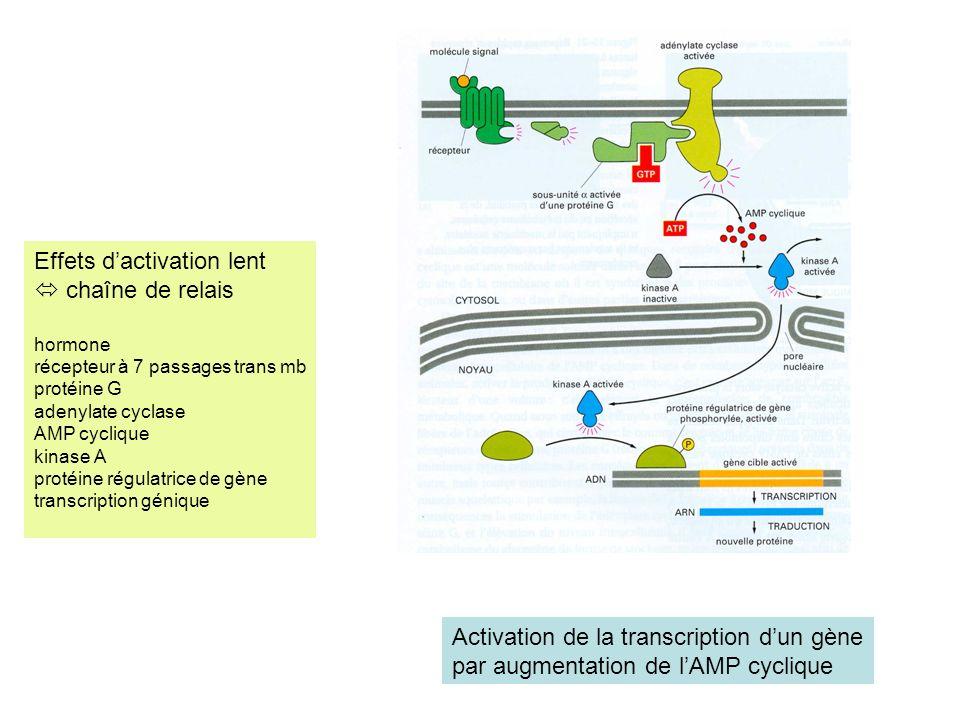 Activation de la transcription dun gène par augmentation de lAMP cyclique Effets dactivation lent chaîne de relais hormone récepteur à 7 passages trans mb protéine G adenylate cyclase AMP cyclique kinase A protéine régulatrice de gène transcription génique
