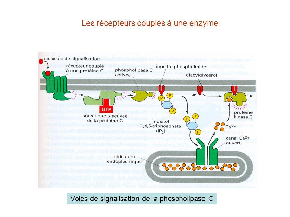 Les récepteurs couplés à une enzyme Voies de signalisation de la phospholipase C