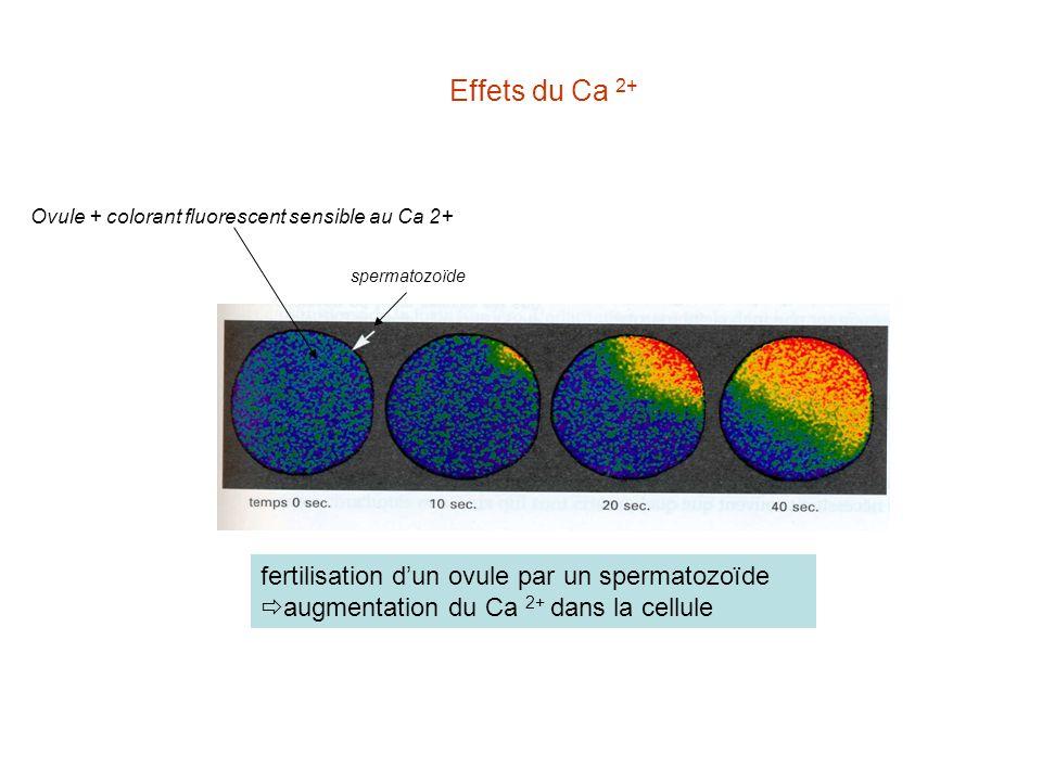 fertilisation dun ovule par un spermatozoïde augmentation du Ca 2+ dans la cellule spermatozoïde Ovule + colorant fluorescent sensible au Ca 2+ Effets du Ca 2+