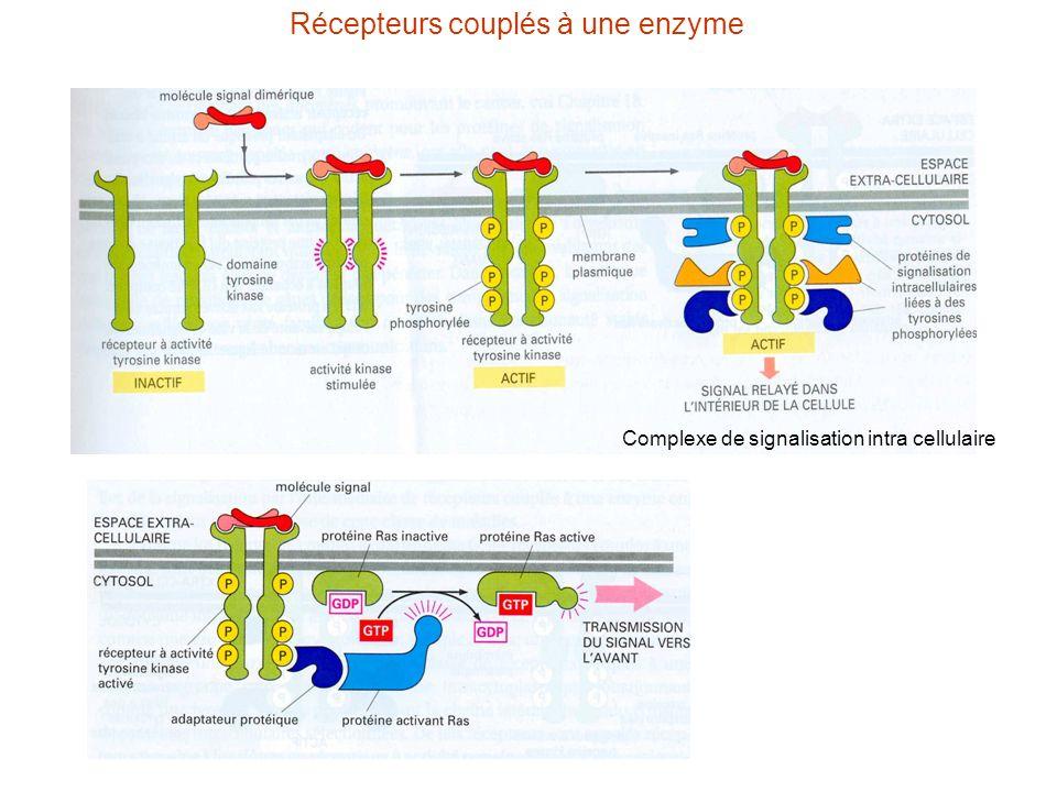 Récepteurs couplés à une enzyme Complexe de signalisation intra cellulaire