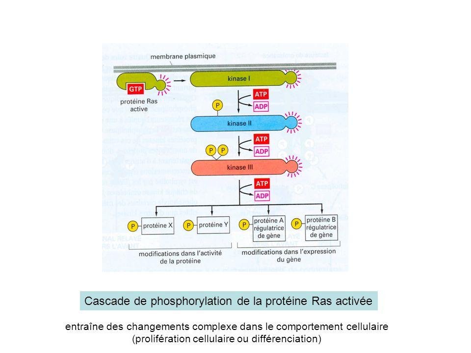 Cascade de phosphorylation de la protéine Ras activée entraîne des changements complexe dans le comportement cellulaire (prolifération cellulaire ou différenciation)