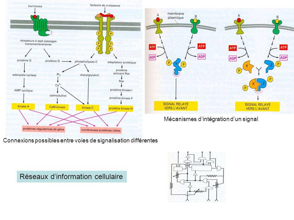 Réseaux dinformation cellulaire Connexions possibles entre voies de signalisation différentes Mécanismes dintégration dun signal