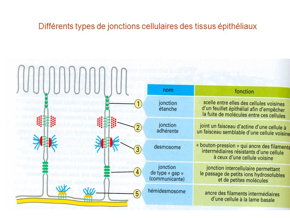 Différents types de jonctions cellulaires des tissus épithéliaux