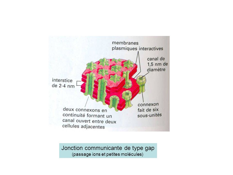 Jonction communicante de type gap (passage ions et petites molécules)