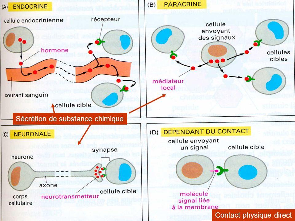 Exemple de communication par contact direct Protéine de signalisation delta Molécule réceptrice notch Lors du développement embryonnaire, la cellule destinée à devenir le futur neurone empêche la transformation des cellules adjacentes Ce processus est très largement utilisé pour le contrôle de la formation de types cellulaires différenciés