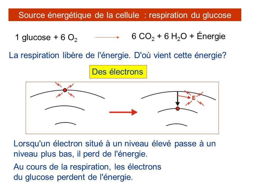 La respiration libère de l'énergie. D'où vient cette énergie? Source énergétique de la cellule : respiration du glucose 1 glucose + 6 O 2 6 CO 2 + 6 H