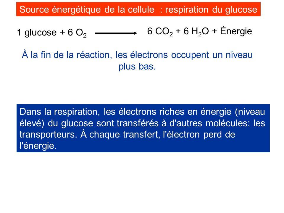 1 glucose + 6 O 2 6 CO 2 + 6 H 2 O + Énergie À la fin de la réaction, les électrons occupent un niveau plus bas. Dans la respiration, les électrons ri