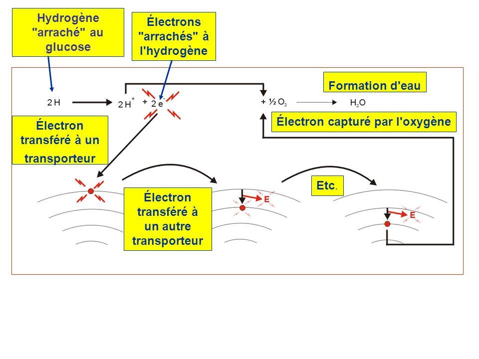 Électron transféré à un transporteur Électron transféré à un autre transporteur Etc. Électron capturé par l'oxygène Hydrogène