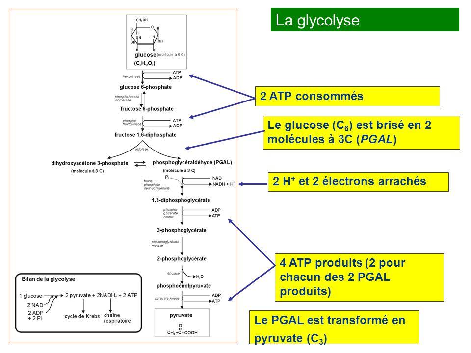 Le cycle de Krebs (ou cycle de l acide citrique) Le pyruvate contient encore de nombreux électrons riches en énergie.