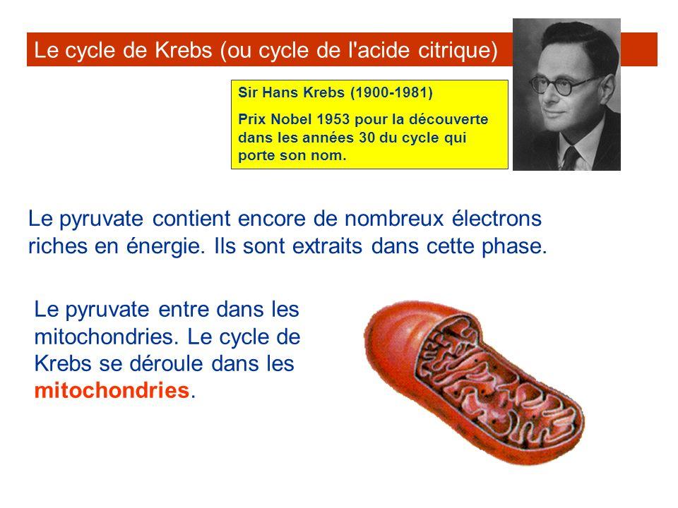 Le cycle de Krebs (ou cycle de l'acide citrique) Le pyruvate contient encore de nombreux électrons riches en énergie. Ils sont extraits dans cette pha