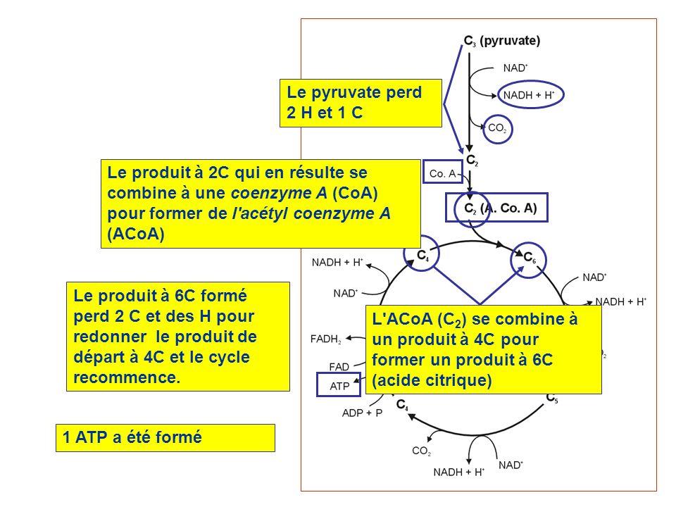 Le citrate (C6) perd 2 C pour redonner un produit à 4C L ACoA (C2) se combine à l oxaloacétate (C4) et forme un composé à 6C (citrate) Des H (et leurs électrons) sont transférés au NAD ou au FAD Pyruvate (C3) Le pyruvate perd 1 C et 2H et se combine au CoA pour former de l ACoA 1 ATP formé