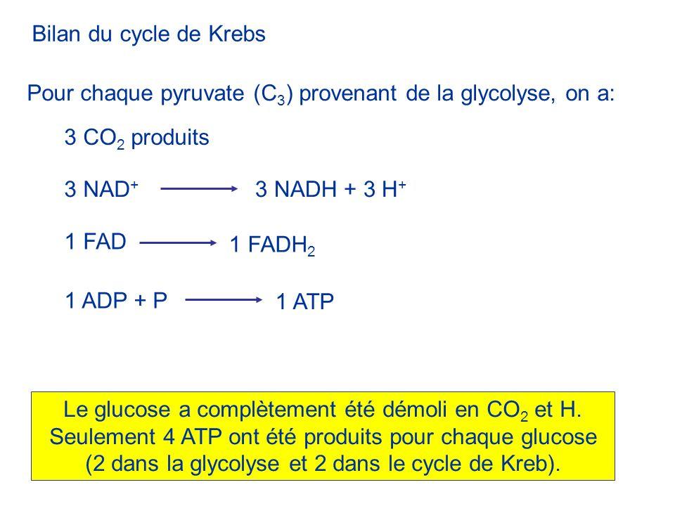 Bilan du cycle de Krebs 3 CO 2 produits Pour chaque pyruvate (C 3 ) provenant de la glycolyse, on a: 3 NAD + 3 NADH + 3 H + 1 ADP + P 1 ATP 1 FAD 1 FA