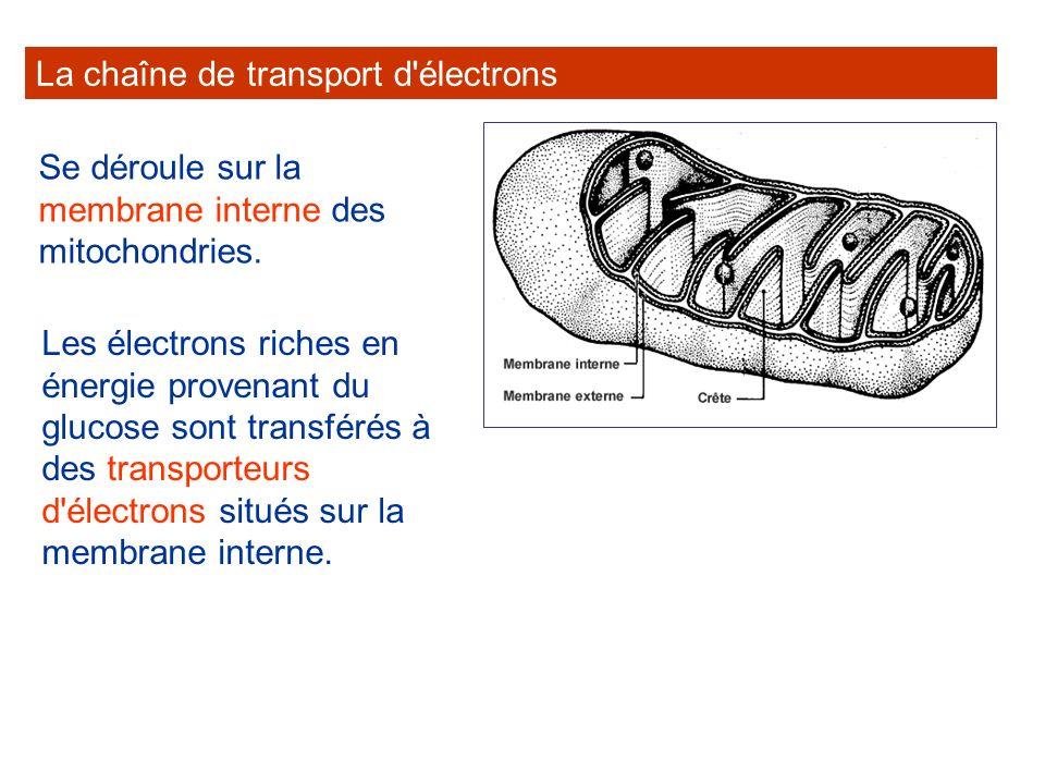 La chaîne de transport d'électrons Se déroule sur la membrane interne des mitochondries. Les électrons riches en énergie provenant du glucose sont tra
