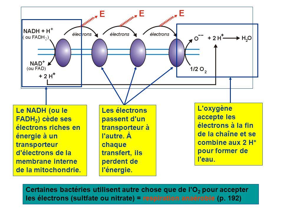L'oxygène accepte les électrons à la fin de la chaîne et se combine aux 2 H + pour former de l'eau. Le NADH (ou le FADH 2 ) cède ses électrons riches