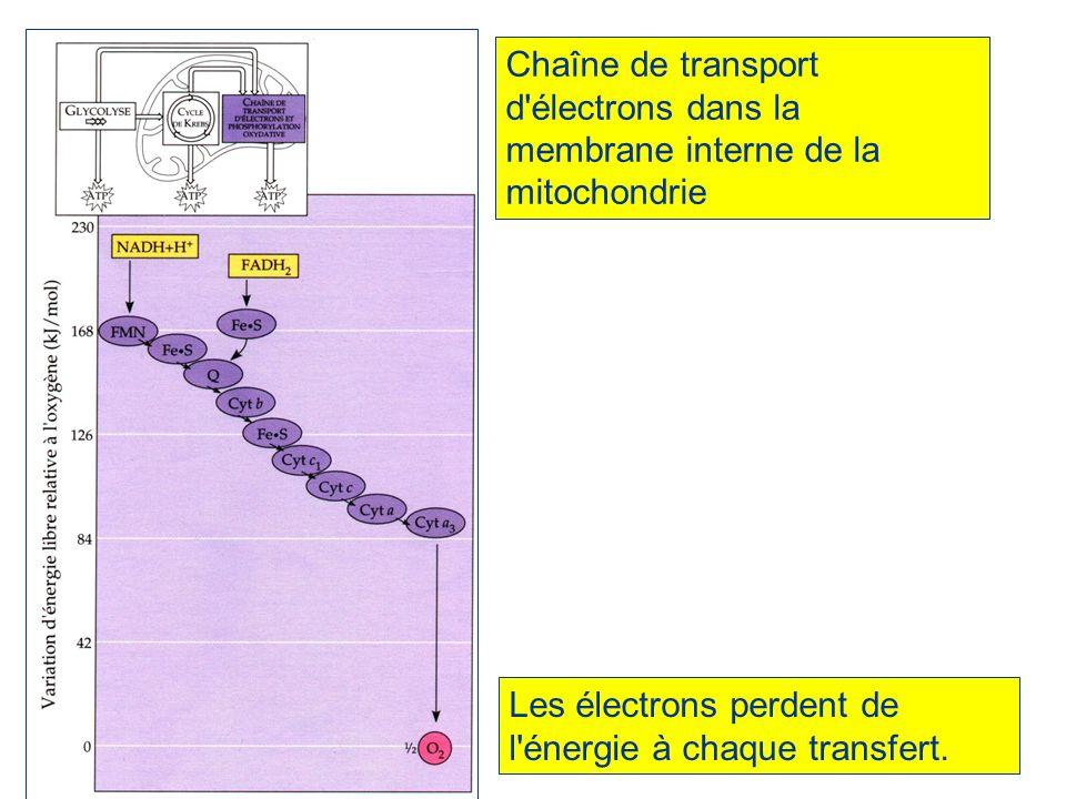 Chaîne de transport d'électrons dans la membrane interne de la mitochondrie Les électrons perdent de l'énergie à chaque transfert.