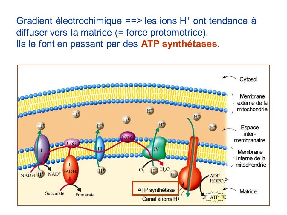 Gradient électrochimique ==> les ions H + ont tendance à diffuser vers la matrice (= force protomotrice). Ils le font en passant par des ATP synthétas