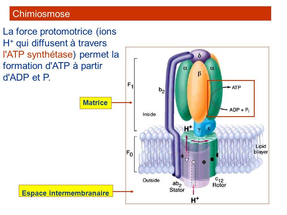 Le passage des ions H + entraîne la rotation d une partie de l ATP synthétase et la formation d ATP.